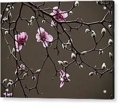 Magnolias In Bloom Acrylic Print by Rob Amend