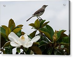 Magolia Bloom With Mocking Bird Acrylic Print by Julie Cameron