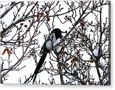 Acrylic Print featuring the photograph Magpie In A Snowstorm by Will Borden