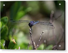 Acrylic Print featuring the photograph Maine Dragonfly by Kirkodd Photography Of New England