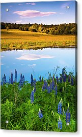 Acrylic Print featuring the photograph Maine Field Of Lupines by Ranjay Mitra