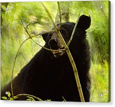 Majestic Black Bear Acrylic Print by TnBackroadsPhotos