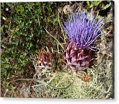 Majestic - Cirsium Purple Plume Thistle Acrylic Print