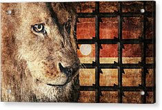 Majestic Lion In Captivity Acrylic Print