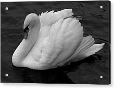Majestic Mute Swan Acrylic Print by Pierre Leclerc Photography