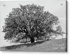 Acrylic Print featuring the photograph Majestic Oak by Suzette Kallen
