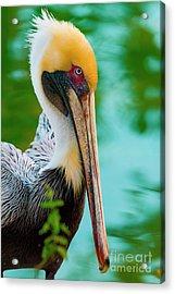Majestic Pelican 48 Acrylic Print