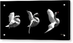 Acrylic Print featuring the digital art Majestic Swan Triptych by Dale   Ford