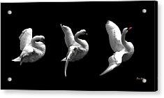 Majestic Swan Triptych Acrylic Print