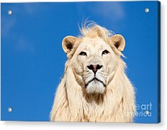 Majestic White Lion Acrylic Print by Sarah Cheriton-Jones
