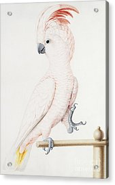 Major Mitchell's Cockatoo Acrylic Print