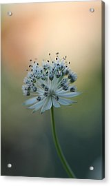 Botanica .. Make A Wish  Acrylic Print