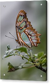 Acrylic Print featuring the photograph Malachite Butterfly Profile by Patti Deters