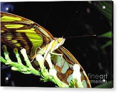 Malachite Butterfly Acrylic Print by Thomas R Fletcher