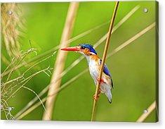 Malalchite Kingfisher Acrylic Print