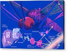 Malaria Cycle Acrylic Print