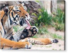 Malayan Tiger Grooming Acrylic Print
