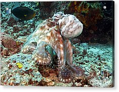Malaysia, Octopus Acrylic Print by Dave Fleetham - Printscapes