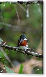 Acrylic Print featuring the photograph Male Amazon Kingfisher by John Haldane