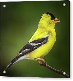 Male American Golden Finch On Twig Acrylic Print