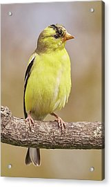Male American Goldfinch In Early Spring Acrylic Print by Jim Hughes