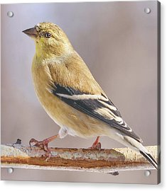 Male American Goldfinch In Winter Acrylic Print by Jim Hughes
