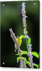 Acrylic Print featuring the photograph Male American Goldfinch by Juergen Roth