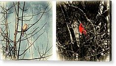 Male And Female Cardinal Acrylic Print