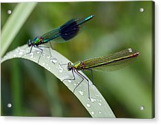 Male And Female Damsel Fly Acrylic Print by Pierre Leclerc Photography