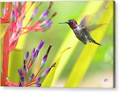 Male Anna's Hummingbird Acrylic Print by Mike Herdering