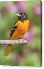 Male Baltimore Oriole Arriving In Minnesota In The Spring Acrylic Print