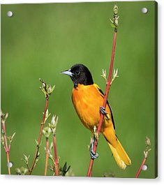 Male Baltimore Oriole Posing Acrylic Print