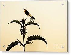 Male Banded Demoiselle At Sunset Acrylic Print