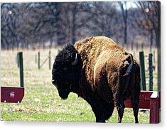 Male Bison Acrylic Print