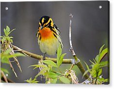 Male Blackburnian Warbler Acrylic Print by Gary Hall