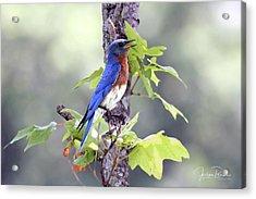 Male Bluebird Acrylic Print