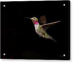 Male Broad-tailed Hummingbird Acrylic Print