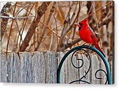 Male Cardinal Acrylic Print by Edward Peterson