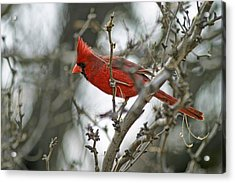 Male Cardinal Acrylic Print by Gregory Scott