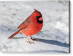 Male Cardinal In Winter Acrylic Print by Kenneth Cole