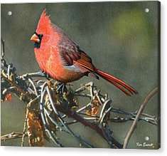 Male Cardinal Acrylic Print by Ken Everett