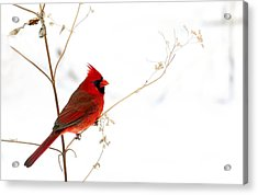 Male Cardinal Posing In The Snow Acrylic Print by Randall Branham