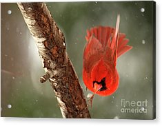 Acrylic Print featuring the photograph Male Cardinal Take Off by Darren Fisher