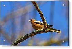 Male Common Chaffinch Bird, Fringilla Coelebs Acrylic Print by Elenarts - Elena Duvernay photo