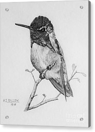 Male Costa's Hummingbird Acrylic Print by Kevin Ballew