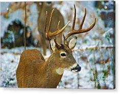 Male Deer In Snow Acrylic Print
