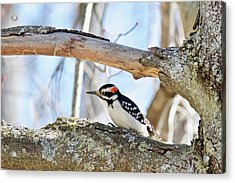 Acrylic Print featuring the photograph Male Downey Woodpecker 1112 by Michael Peychich
