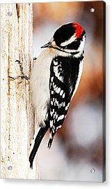 Male Downy Woodpecker 3 Acrylic Print by Larry Ricker