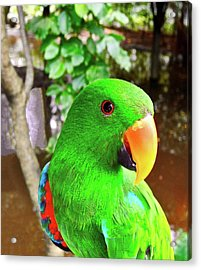 Male Eclectus Parrot II Acrylic Print