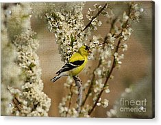 Male Finch In Blossoms Acrylic Print by Cathy  Beharriell